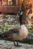 Curious goose in the zoo Stock Photography