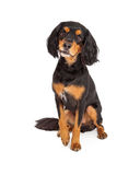 Curious Gordon Setter Mix Breed Dog Sitting Royalty Free Stock Photos