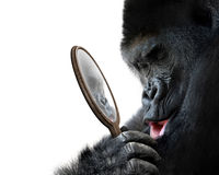 Curious gorilla looking at his handsome self reflection in mirror and smiling lovingly. Self-awareness in animals concept of a big gorilla looking at itself in a stock photo