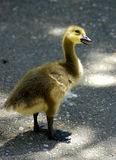 Curious Gosling. A baby goose (gosling) curious about the world around him Stock Photography