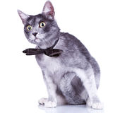 Curious gray cat Royalty Free Stock Images
