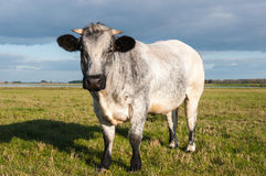 Curious gray cow Stock Photos