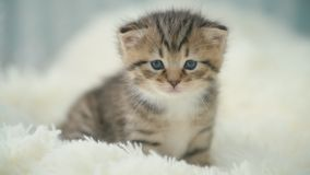 Little kitty on a blanket. Curious gray kitten. Little cat at home. Small pet stock video