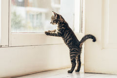 Free Curious Gray Kitten Looking Outside Through Window Stock Images - 64382284
