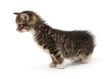 Curious gray kitty Stock Photos