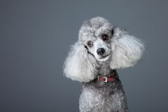 Curious gray poodle royalty free stock image
