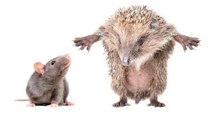 Curious gray rat and funny hedgehog, standing on hind legs. Isolated on white background royalty free stock images