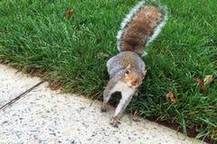 Curious gray squirrel Stock Photos