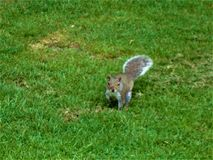 Curious gray squirrel on a lawn. royalty free stock images