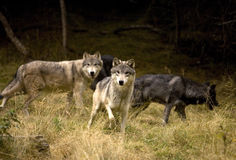 Curious Gray Wolves. Curious group of gray wolves, Denali National Park stock photos