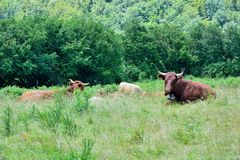 Curious grazing cow. Curious grazing cow in the mountain, fields in Vic-sur-Cere, France Royalty Free Stock Photo