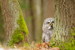 Curious Great grey owl Stock Image