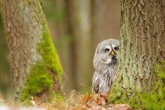 Curious Great grey owl Stock Image