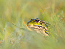Curious green frog Stock Images