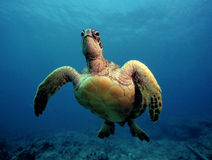 Curious Green Sea Turtle - Oahu royalty free stock photo