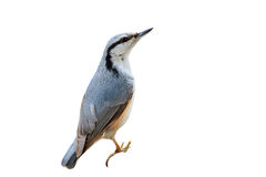 A curious grey bird nuthatch on a white background Stock Photos