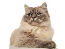 Curious grey cat with wide blue eyes looks to side. While lying on white background Stock Photos