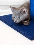 Curious grey kitten prepares to pounce. A curious eight-week old grey kitten hiding behind a blue scratching post on a white background, preparing to pounce Stock Photos
