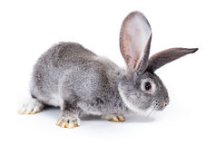 Curious grey rabbit sniffing Stock Photo