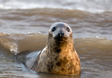 Curious Grey Seal. Playing in the surf Stock Photography