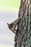 Curious Grey Squirrel Stock Photo