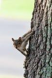 Curious Grey Squirrel Stock Photo