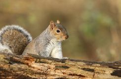 A curious Grey Squirrel Scirius carolinensis looking over a log. Stock Photos