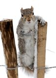 Curious grey squirrel in the snow Royalty Free Stock Images