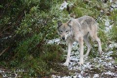 Curious grey wolf Stock Photos