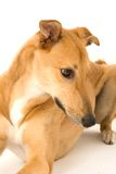 Curious Greyhound Royalty Free Stock Photos
