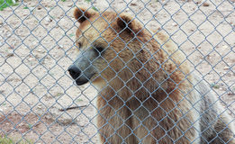 A Curious Grizzly Bear in a Zoo Cage Stock Image