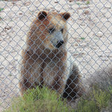 A Curious Grizzly Bear in a Zoo Cage Royalty Free Stock Photo