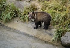 Curious grizzly cub Royalty Free Stock Photos