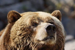 Curious grizzly face Stock Photo