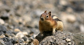 Curious ground squirrel Stock Images