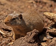 Curious Ground Squirrel Stock Image