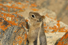 Curious ground squirrel in the Grand Canyon Royalty Free Stock Images