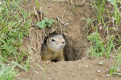 A curious ground squirrel looks out of the hole. A curious ground squirrel Spermophilus undulatus looks out of the hole. The valley of the river Chuya, Alta royalty free stock photography