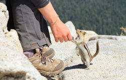 Curious Ground Squirrel in Yosemite National Park Stock Photography