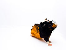 Curious guinea pig Stock Images
