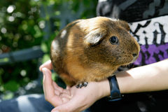 Curious guinea pig Royalty Free Stock Photo