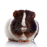 Curious guinea pig Royalty Free Stock Images