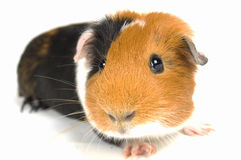 Curious guinea pig Royalty Free Stock Photography