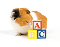 Curious guinea pig is learning the ABC. Over white stock photography