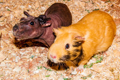 Curious Guinea-pig Stock Images