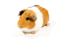 Curious guinea pig on white background Royalty Free Stock Photography
