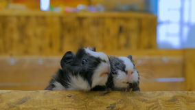 Curious guinea pigs looking around stock video footage