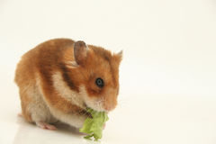 Curious hamster Stock Photos