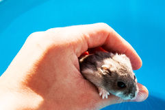 Curious hamster 3. Beautiful curious hamster leaning in one hand with paw faces Royalty Free Stock Photography