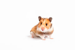 Curious hamster. Isolated on white background Royalty Free Stock Photography